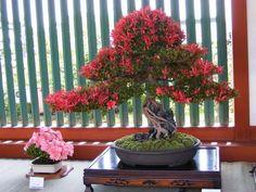 Comprar un bonsái, lo que debes considerar - Jardinería