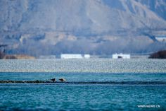 Two birds drink water by the Yellow River in Guide County in northwest China's Qinghai Province, Dec. 10, 2013