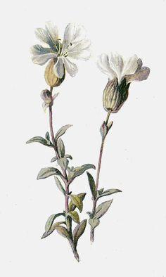 Antique Images: Free Digital Flower Graphic: Digital Image of Wildflower Sea Campion