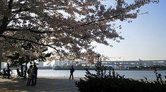 Sakura days, odaiba, Tokyo Japan Sakura, Japanese Lifestyle, Odaiba, Places Of Interest, Japanese Culture, Masters, Tokyo, China, Beach