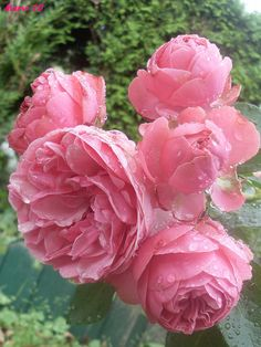 'Leonardo da Vinci' | Floribunda Rose. Alain Meilland (France, before 1993) | Flickr - © Marvinette