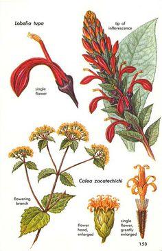 Tupa (Lobeliba spp) & Dream Herb (Calea Zacatechichi)