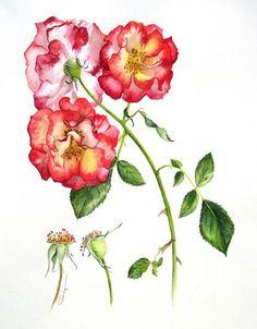Linda Clingerman   American Society of Botanical Artists