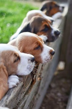 I love dogs, but beagles have a special place in my heart! I've had many of them as a child & an adult. ♥