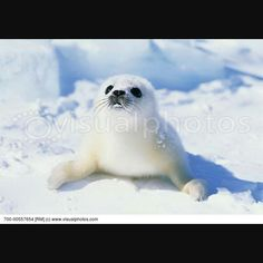 Favriot animale harp seal to cute Harp Seal, Marine Life, Art Pictures, Baby Animals, Owl, Seals, Cute, Sweet, Pretty