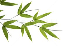 Photo about High resolution image of wet bamboo-leaves isolated on a white background. Please take a look at my similar bamboo-images. Image of china, copy, grass - 3302893 Bamboo Leaves, Plant Leaves, Bamboo Image, Bamboo Drawing, Bamboo Crafts, Bamboo Design, Floral Drawing, Bamboo Garden, Tree Silhouette