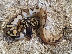 Pastel Calico Special - Morph List - World of Ball Pythons
