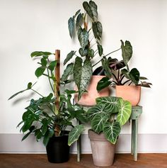 Large philodendron cultivars from left to right: fiddle leaf, variifolium…