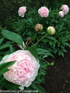 These Sarah Bernhardt peonies are gorgeous and she has such great tips and tricks for planting and caring for peonies eclecticallyvintage.com