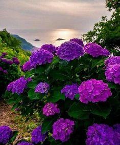 Hortensia Hydrangea, Hydrangea Garden, Hydrangea Flower, Amazing Flowers, Pretty Flowers, Purple Flowers, Blossom Garden, Blossom Flower, Beautiful Landscapes