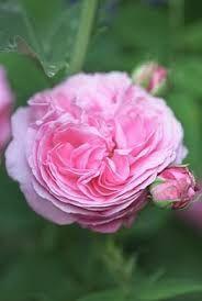 pinterest rose bellissime - Cerca con Google