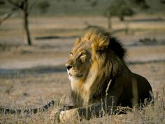 Lion (Panthera Leo), Kalahari Gemsbok Park, South Africa, Africa Photographie by Steve & Ann Toon - AllPosters.ca