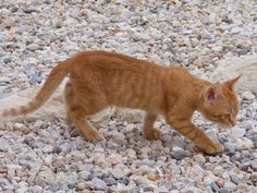 Cats in Crete - a look beyond and behind these iconic images of Greece Ginger Kitten, Ginger Cats, Orange Tabby Cats, Red Cat, Tiny Kitten, Super Cute Animals, Kitten Rescue, Cute Animal Photos, Feral Cats