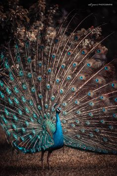 Royal Peacock / Paon by adil youri on 500px