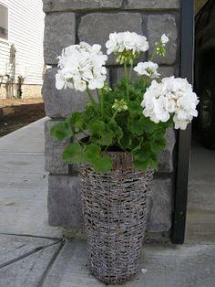 Houseplants for Better Sleep White Geraniums Container Flowers, Container Plants, Container Gardening, Summer Flowers, White Flowers, Beautiful Flowers, Geranium Plant, Pot Jardin, Pot Plante