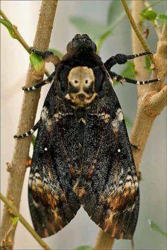 Death's Head Moth (Acherontia atropos) Europe Mais