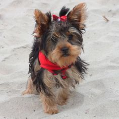 Gidget is happy at the beach! She's just looking for her Moondoggie!
