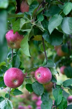 Apples Fresh Fruits And Vegetables, Fruit And Veg, Apple Tree, Red Apple, Weird Fruit, October Born, Rose Family, Goat Farming, Juicy Fruit