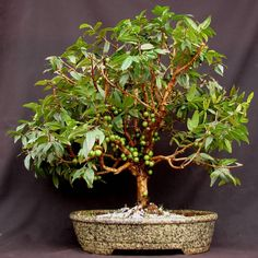Bonsai Jabuticaba! This a fruit tree where the fruit grows directly off the trunk, miniaturized!
