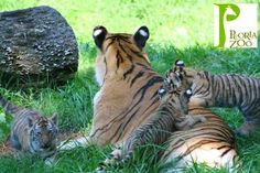 Tiger cubs with mom at Peoria Zoo