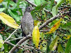 Foto crejoá (Cotinga maculata) por Fernando Flores | Wiki Aves - A Enciclopédia das Aves do Brasil (Fêmea)