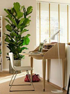 Geigenfeige (Ficus lyrata)