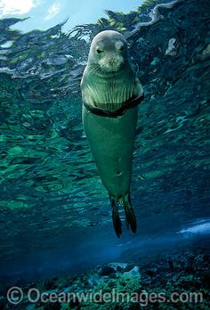 "hawaiian monk seal seal says ""do not disturb me I'm praying"""