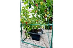 Rain & Drain Tropical Planter - From Free - worth of extras & Exotics Growing Guide Vegetable Planters, Vegetable Salad, Mini Greenhouse, Growing Tomatoes, Habitats, Harvest, Exotic, Rain, Tropical