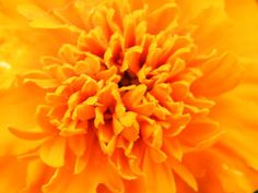 Orange Marigold or Fire in the Sky Fine Art Print - Mary Sedivy