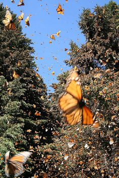 Monarch Erfly Migration
