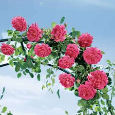 Garden Flowers - Annuals Or Perennials High Society Climbing Rose. A Class Act, In The Garden And The Vase, Reblooming All Summer Long Damask Rose, Pink Damask, Fake Flowers, Beautiful Flowers, Pink Rose Pictures, Types Of Roses, Growing Roses, Rose Bush, Climbing Roses