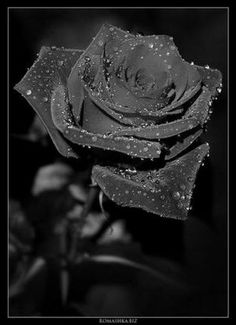 http://gothicroses.in-pics.com/img/black-rose-on-a-black-font.jpg