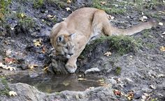 Costa Rican cougar | costa-rican-cougar-pictures_3