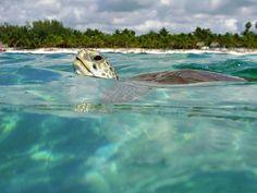 Hola mundo. Akumal.  Akumal has been a gem of the Riviera Maya, known for its turtle.  Akumal has a ecological group that has turtle education programs.
