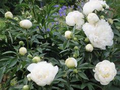 Versoja Vaahteramäeltä:kiinanpioni  Paeonia lactiflora ´Duchesse de Nemours` Paeonia Lactiflora, Clueless, Peonies, Cottage, Garden, Plants, Outdoor, Outdoors, Garten