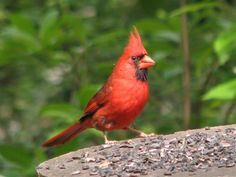 Pictures of Birds - Cardinals Nesting