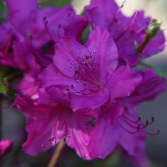 Buy evergreen azalea Rhododendron 'Blue Danube': Delivery by Crocus