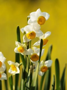 narcissus daffodil alkaloid: lycorine, GI tract problems, large amounts can cause tremors and seizures