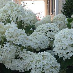 Incrediball #hydrangea is in full #bloom on #mossmountainfarm #provenwinners #joy #hydrangea #sharethebounty