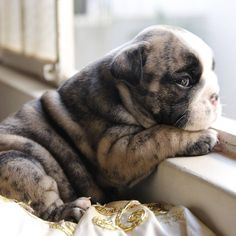 Baby Bulldog                                                                                                                                                      More