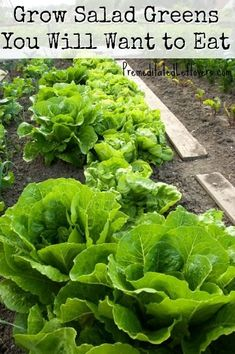 Grow Salad Greens  You Will Want to Eat gardening on a budget #garden #budget gardening on a budget #garden #budget