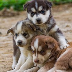Discover the Secret to Getting Your Siberian Husky to Listen! Little Husky, Cute Little Puppies, Cute Dogs And Puppies, Baby Dogs, Doggies, Animals And Pets, Baby Animals, Cute Animals, Husky Puppy