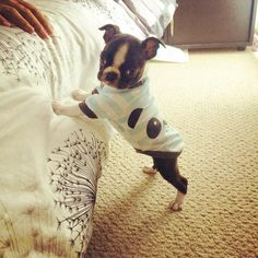 7 Weeks Old Boston Terrier named Otto with his Pajama on! Isn't he Adorable? ► http://www.bterrier.com/?p=24799 - https://www.facebook.com/bterrierdogs