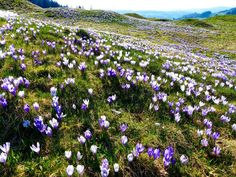 A sea of wild crocuses. Doesn't it sound like a place where you want to be on a beautiful spring day?This particular place of sea of wild crocuses can be found on the hills of Rämisgummen in … A Sea, Spring Day, Sounds Like, Switzerland, Things To Do, Hiking, Bloom, Explore, Plants