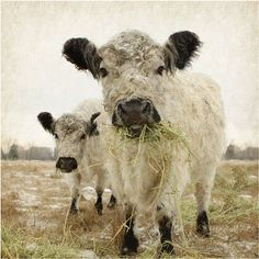 For Him Two White Cows Gallery Mounted by lucysnowephotography, $50.00