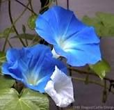 ...morning glories..one of my favs!!