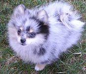 Pomeranian, love this blue merle color
