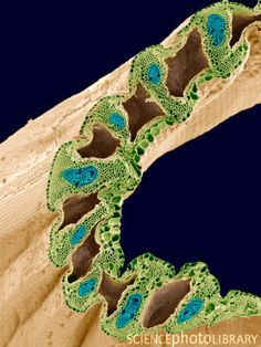 Grass stem. Coloured scanning electron micrograph (SEM) of a section through a grass stem (family Graminaceae). The surface is covered in a waxy epidermis (brown) that helps to prevent water loss. Within the stem are vascular bundles (blue), which consist of phloem and xylem tissues. Xylem transports water and mineral nutrients from the roots throughout the plant, while the phloem transports carbohydrates and hormones around the plant. Surrounding the vascular bundles is the cortex (green)…