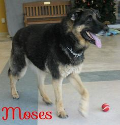 This is Moses, I am 7 years old German Shepherd, I want to have a family again soon.  Would you find it in your heart to adopt me and make me part of yours?