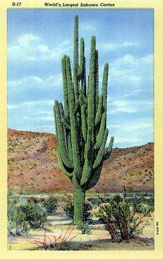 world's largest sahuaro cactus